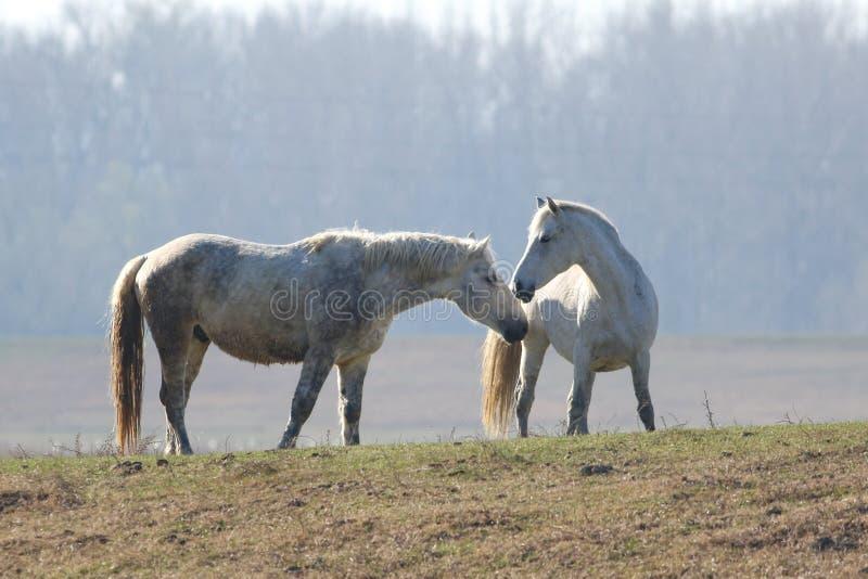 Amour entre deux chevaux sauvages de whitw photos libres de droits