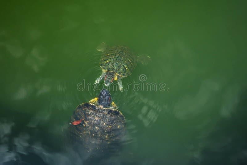 Amour et concept de baisers un bain de tortue de bébé viennent plus près de elle photographie stock libre de droits