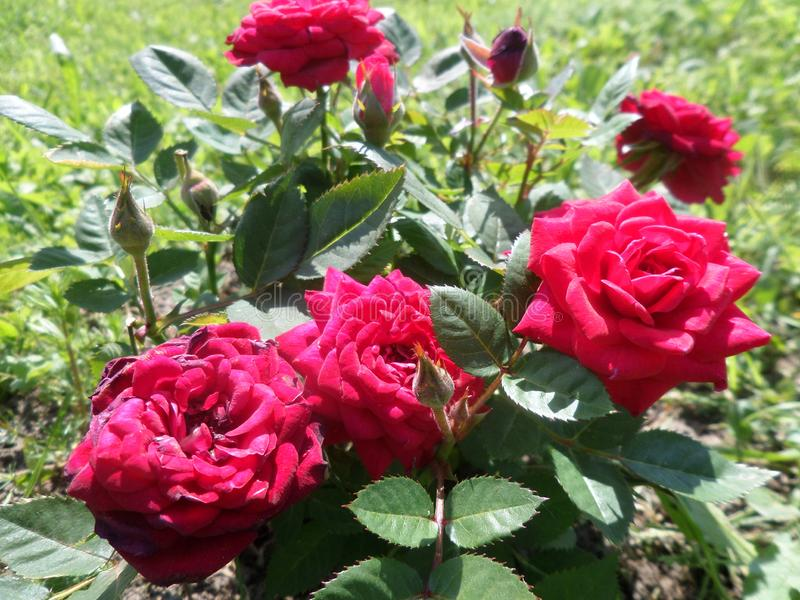 Amour Rose photographie stock