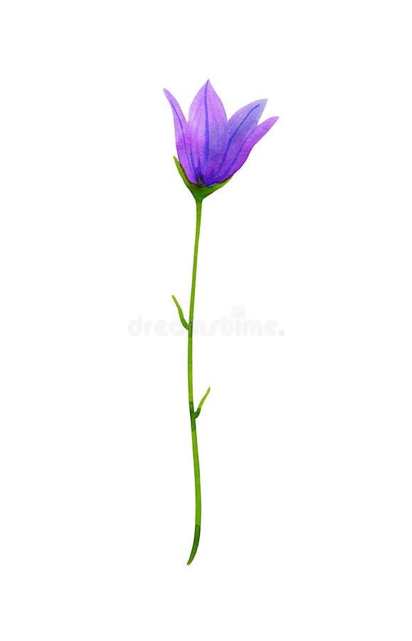 Ampanula do ¡ de Ð, campainha Wildflower violeta Ilustração tirada mão da aquarela Isolado no fundo branco ilustração royalty free