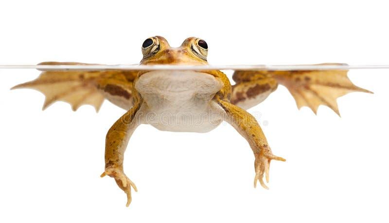 amphibian animal frog green isolated pond swimming 库存照片