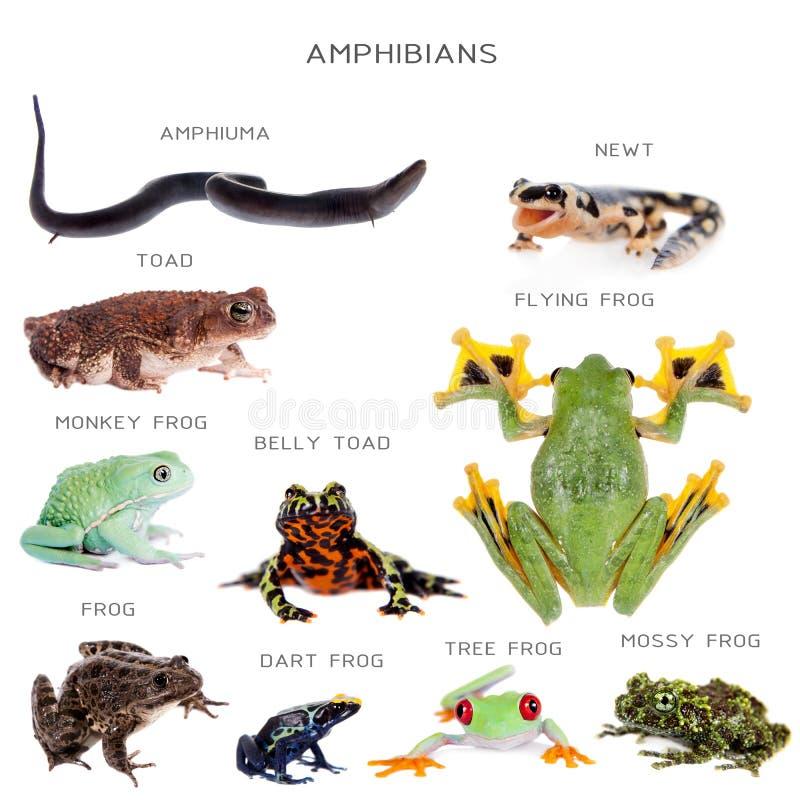 Amphibian education set on white. Amphibian education set, isolated on white background stock photo
