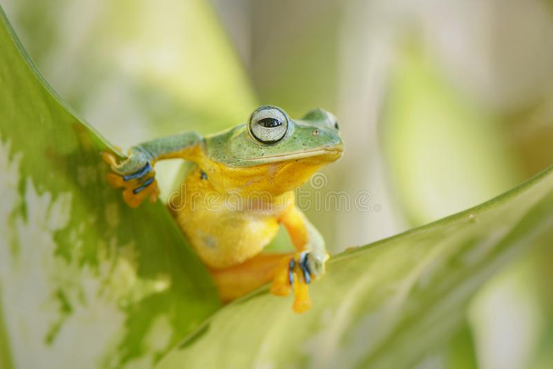 Ready to jump for leaf. Amphibian, frog, flyingfrog, eyes, small, orange, animal, wild, wildlife, frogs, nopeople, sunlight, green, , ming stock image