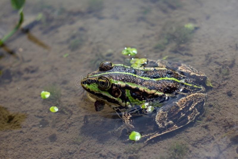 Amphibian in water with duckweed. Green frog in the pond. Rana esculenta Macro photo. Ð¡lean pond stock images