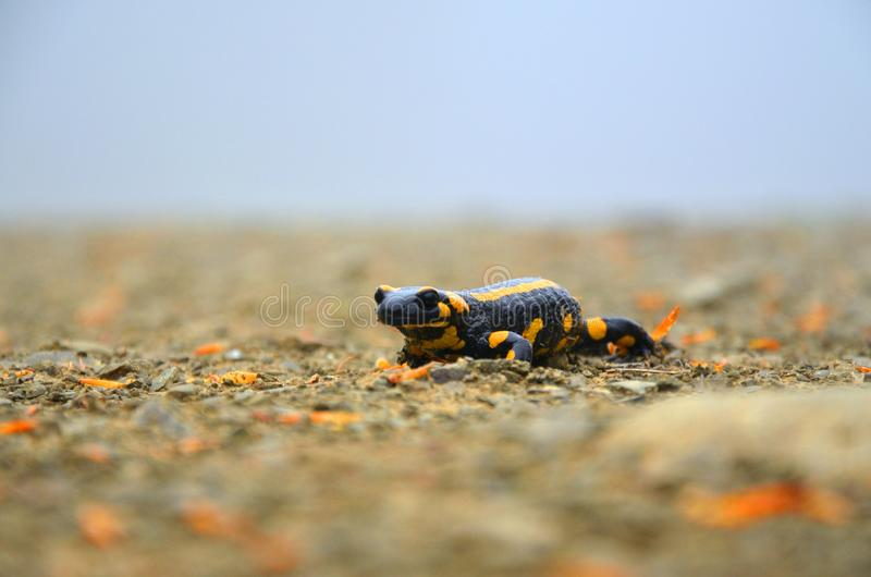 amphibie Salamander auf einem Weg in den Bergen stockfotos