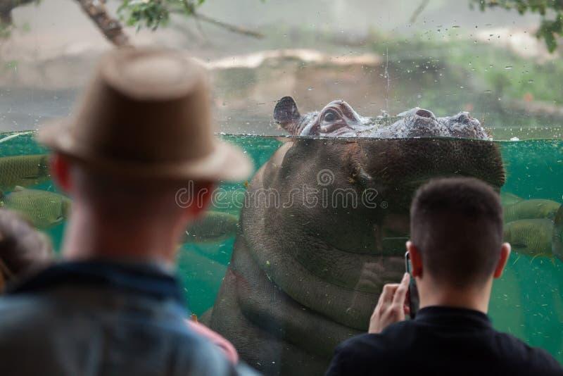 Amphibius бегемота бегемота стоковые изображения