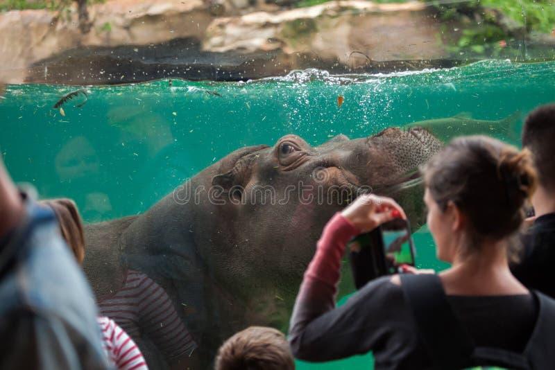 Amphibius бегемота бегемота стоковая фотография rf