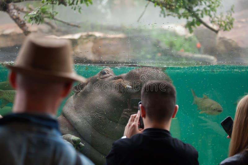 Amphibius бегемота бегемота стоковое фото rf