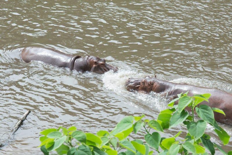 Amphibius del hipopótamo del hipopótamo que lucha en el agua imagen de archivo libre de regalías
