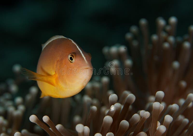 Amphiprion akallopisos - Similan Inseln, Thailand lizenzfreies stockbild