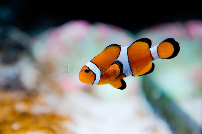 Amphiprion ocellaris -clownfish - Nemo royalty free stock photos