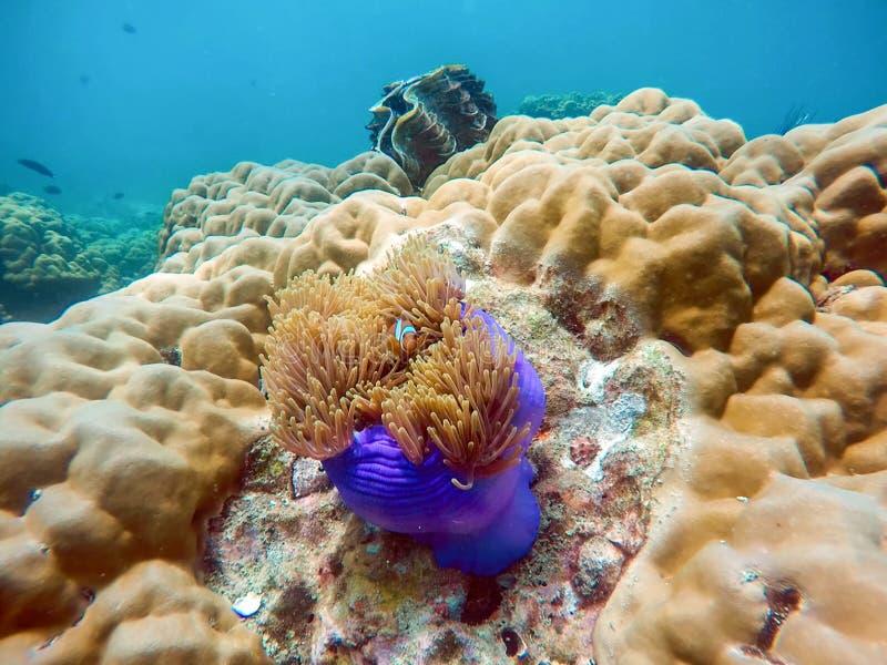 Amphiprion ocellaris fish hiding in coral purple pot in lipe sea stock images