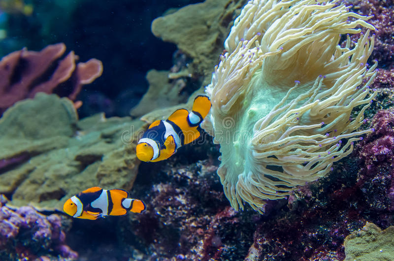 Amphiprion Percula Clownfish royalty free stock photo