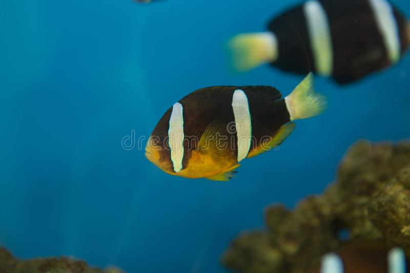 Amphiprion polymnus, also known as the saddle back clown fish or yellowfin anemone fish, is a black and white species of anemone stock photos