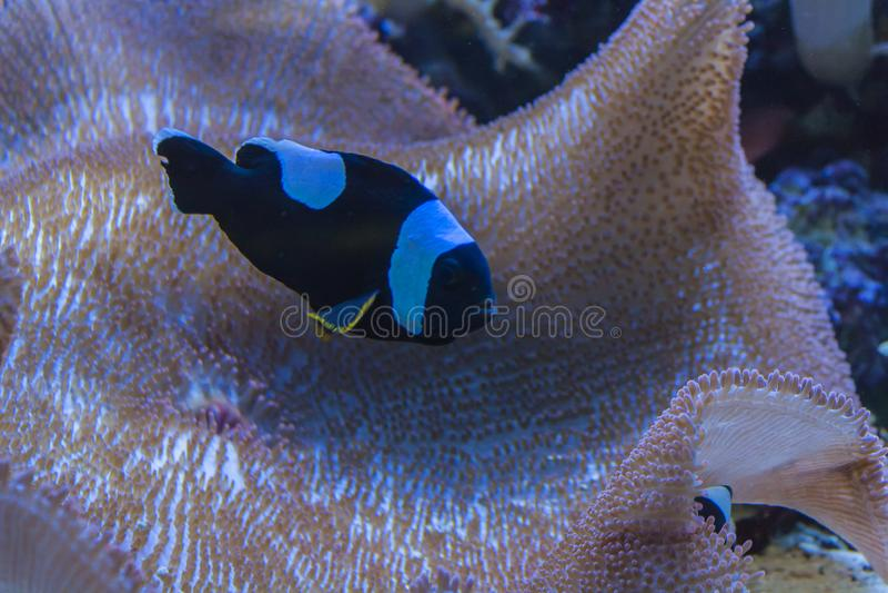 Amphiprion polymnus i ampuła korala gałąź zdjęcia royalty free