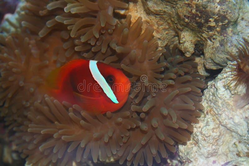amphiprionfrenatus royaltyfri foto