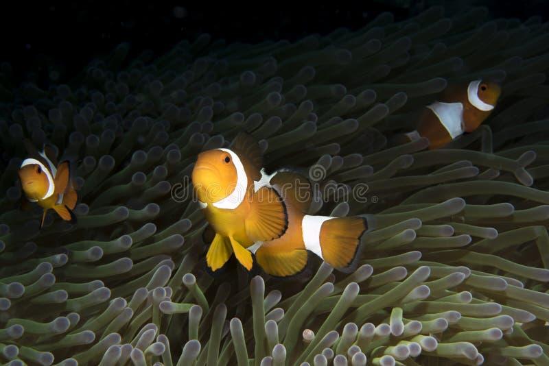 Amphiprioninae Clownfish με το anemone στοκ εικόνα