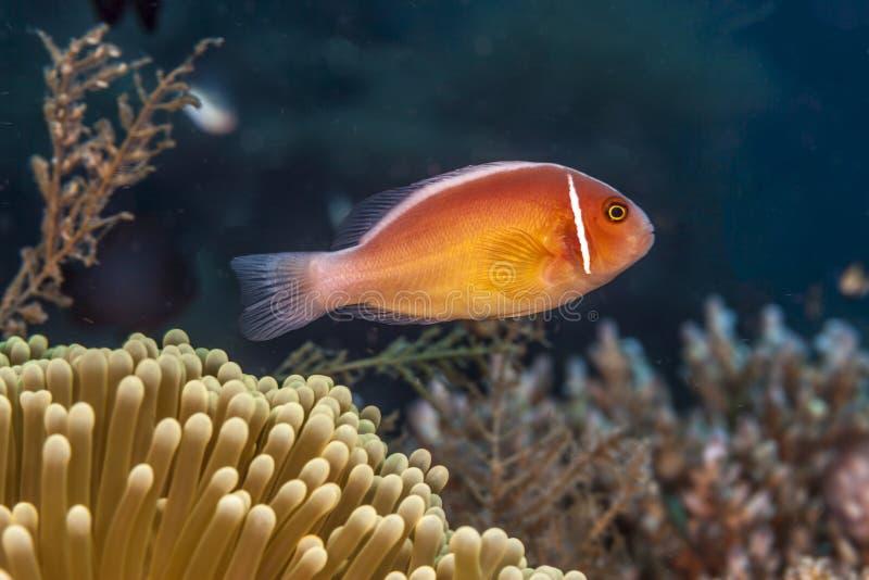 Amphiprionperideraion, rosa skunkclownfish, rosa anemonefish, arkivfoto