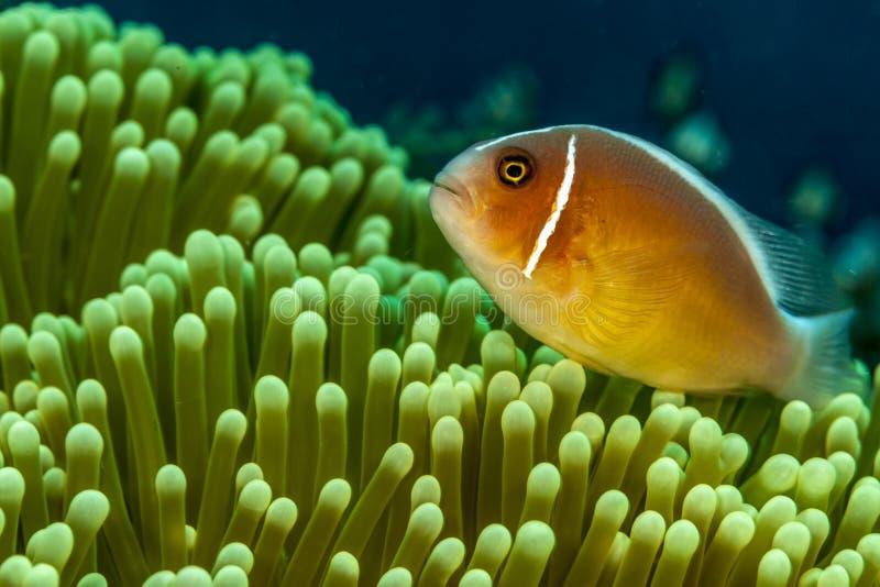 Amphiprionperideraion, rosa skunkclownfish, rosa anemonefish, royaltyfri fotografi