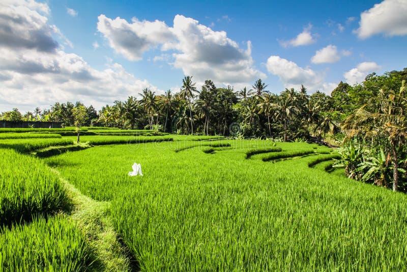 Ampi terrazzi verdi del riso - Bali, Indonesia immagine stock