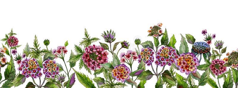 Ampia insegna di estate variopinta La bella lantana fiorisce con le foglie verdi su fondo bianco Modello orizzontale illustrazione vettoriale