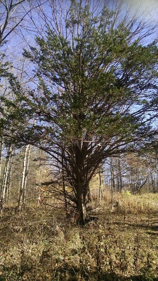 Ampio albero di diffusione fotografia stock