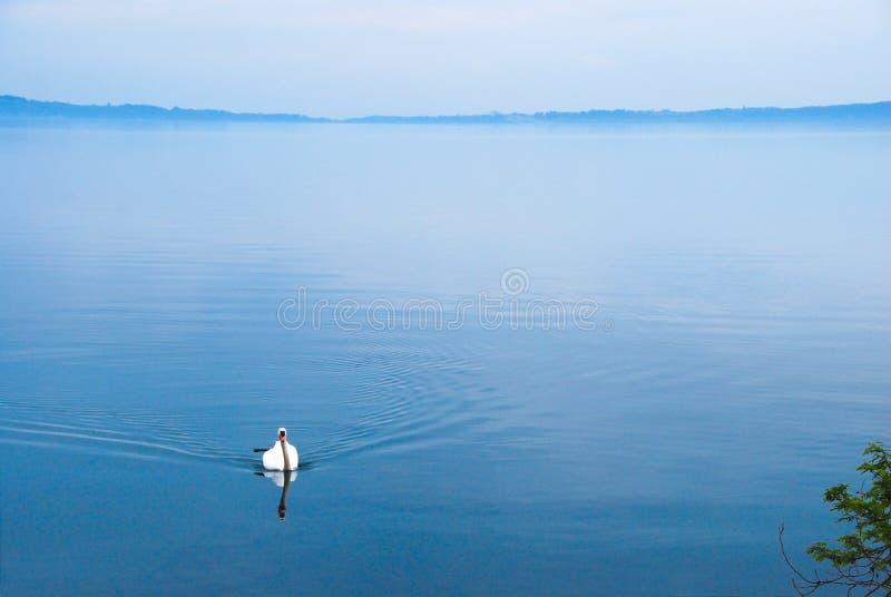 Ampio punto di vista di un cigno in un lago rilassato fotografie stock