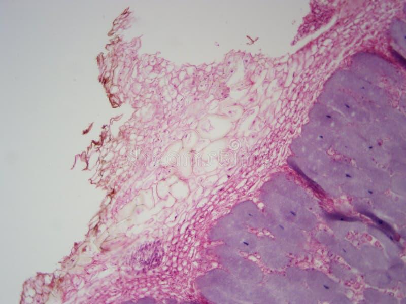 ampliação das bactérias da raiz 400x foto de stock