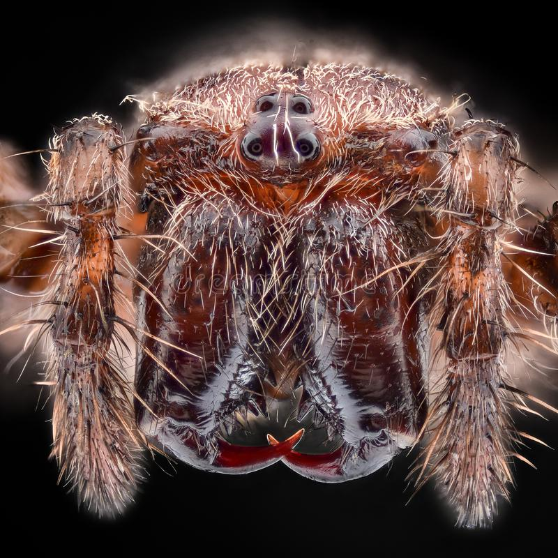 Ampliação extrema - aranha de jardim europeia, diadematus do Araneus fotos de stock royalty free