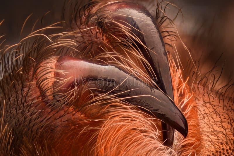 Ampliação extrema - colmilhos mexicanos da tarântula do redknee fotografia de stock