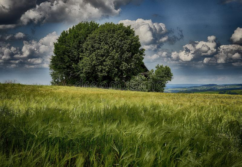 Amplia foto de un árbol verde aislado en el campo de la hierba bajo el cielo azul nublado en primavera fotos de archivo