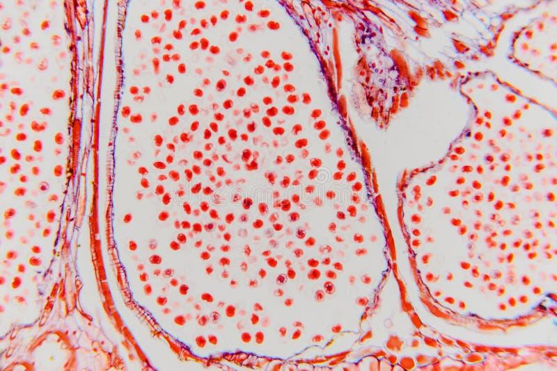 Ampliación de la célula de la planta alta con el microscopio ligero Vagos de la ciencia imagen de archivo