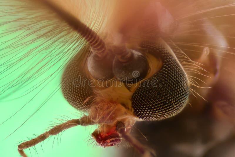 Ampliación extrema - cabeza del mosquito, Chironomus, vista delantera imagen de archivo