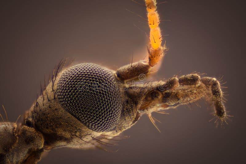 Ampliación extrema - cabeza joven de la mosca de grúa del paludosa de Tipula imagen de archivo