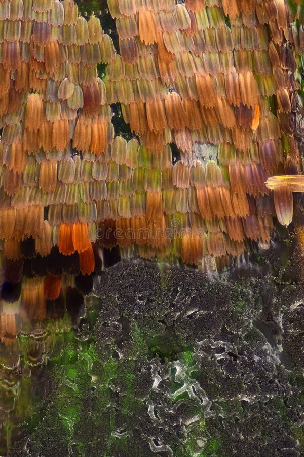 Ampliación extrema - escalas del ala de la mariposa comidas por el molde, Vanessa Atalanta, 10x imágenes de archivo libres de regalías