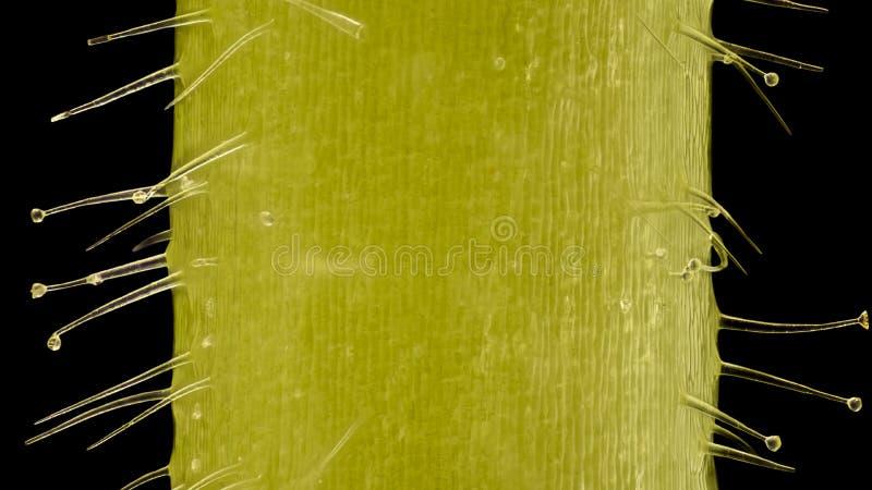 Ampliación extrema - Pelargonium, pelos glandulares y tector en 20x imagenes de archivo
