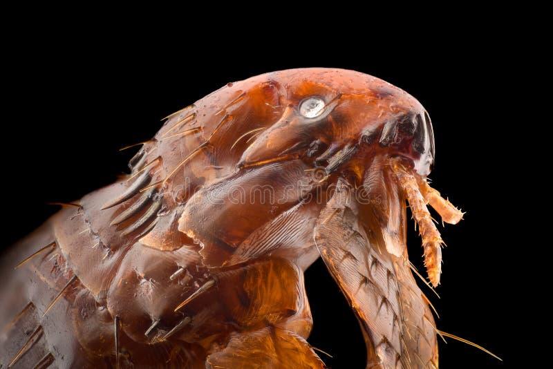 Ampliación extrema - pulga en 20x imagen de archivo