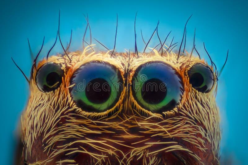 Ampliación extrema - retrato de salto de la araña fotos de archivo