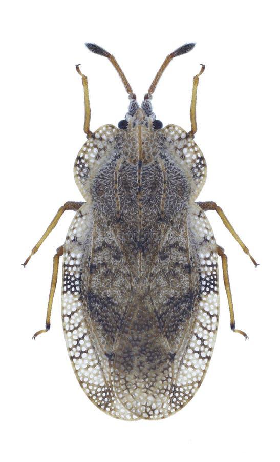 Ampliata di Tingis dell'insetto fotografia stock libera da diritti