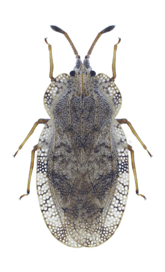 Ampliata van insectentingis royalty-vrije stock foto