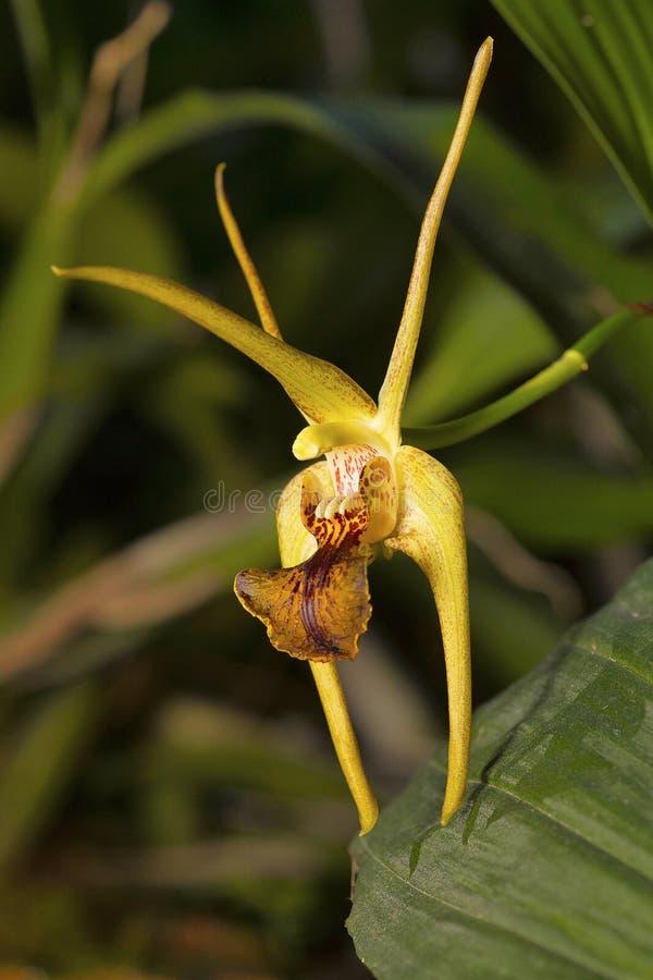 Amplum do Dendrobium, espécie da orquídea Vila de Durgapur foto de stock
