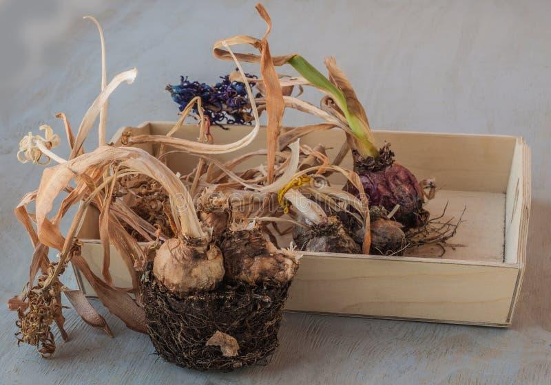 Ampoules de jacinthe après l'extrémité des pots de saison et de fleur photos stock