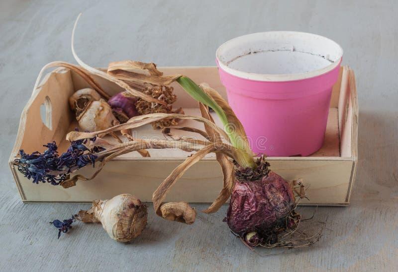 Ampoules de jacinthe après l'extrémité des pots de saison et de fleur photographie stock libre de droits