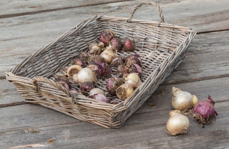 Download Ampoules De Jacinthe Dans Un Panier Image stock - Image du seedling, panier: 77151697