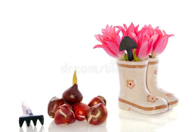 Ampoules de tulipe et fleurs de tulipe photo stock