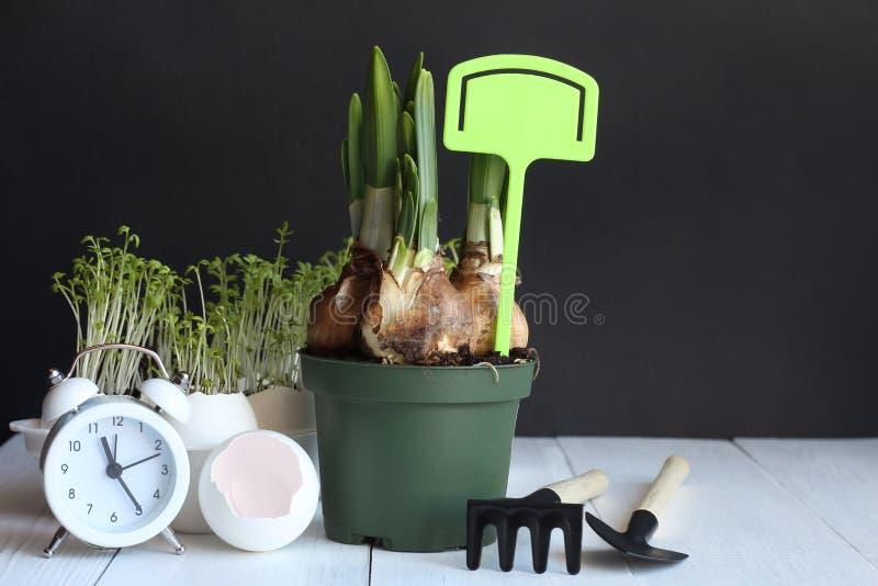 Ampoules des narcissuses dans un pot vert avec le plat vert et le réveil blanc sur une table blanche photo libre de droits