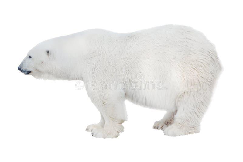 Ampuła odosobniony czysty biały niedźwiedź polarny obraz stock