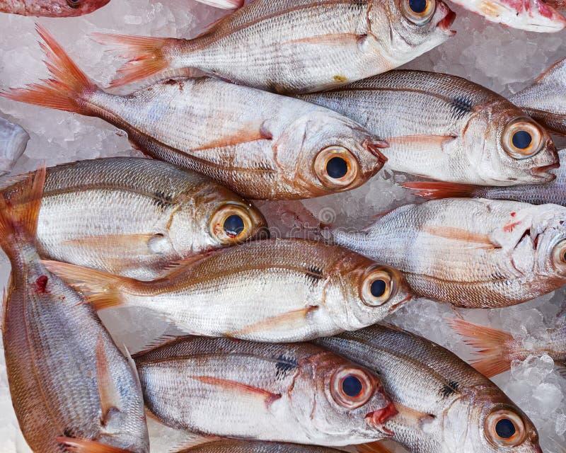 Ampuła przyglądająca się dentex ryba dla sprzedaży zdjęcia royalty free