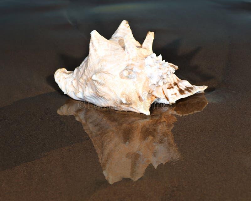 Ampuła różowi królowej konchy seashell lying on the beach na mokrym piasku blisko wody na plaży zdjęcia stock