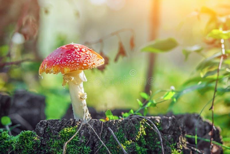 Ampuła rozrasta się amanita z czerwonym kapeluszem obraz stock